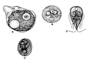 parazit yumurtas blastocystis goruldu)